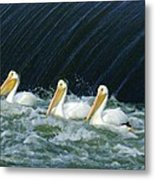 Three Pelicans Hanging Out  Metal Print