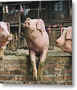 Three Pigs Having A Chat In A Remote Metal Print