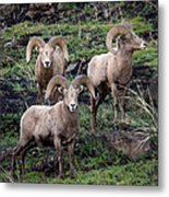 Three Rams Metal Print