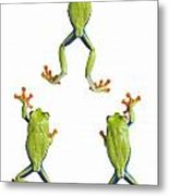 Three Red Eyed Tree Frogs Climbing Metal Print