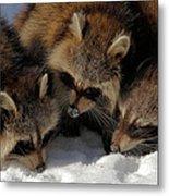 Three Sweet Raccoons Metal Print