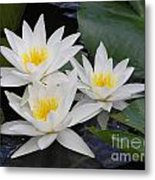 Three White Waterlilies Metal Print
