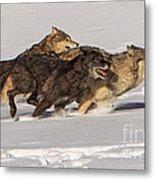 Three Wolves Metal Print