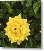 Three Yellow Roses In Rain Metal Print