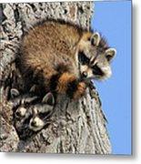 Three Young Raccoons Metal Print