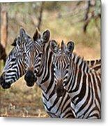 Three Zebras Metal Print