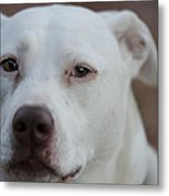 Through The Eyes Of A Pitbull II  Metal Print