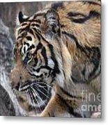 Sumatran Tiger-5418 Metal Print