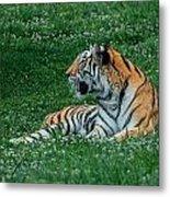 Tiger At Rest 1 Metal Print
