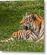 Tiger At Rest 3 Metal Print