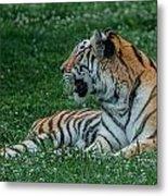 Tiger At Rest 4 Metal Print