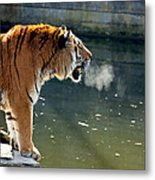 Tiger Breathing Into Cold Air By The Water Metal Print