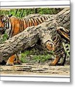 Tiger By The Log Metal Print