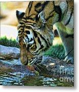 Tiger Drinking Water Metal Print