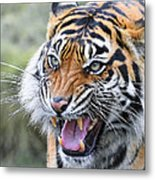 Tiger Growl Metal Print