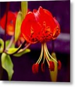 Tiger Lilly In Repose Metal Print