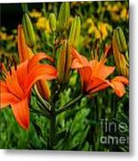 Tiger Lily Blossoms Metal Print