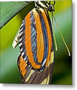 Tiger Mimic Queen Butterfly Metal Print