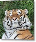 Tiger Nap Time Metal Print
