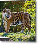 Tiger On The Prowl Metal Print