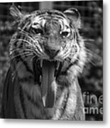 Tiger Say Aw Metal Print