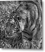 Tiger Stalking In Black And White Metal Print