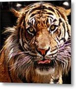 Tiger Stare Metal Print