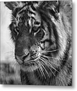 Tiger Stare In Black And White Metal Print