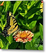 Tiger Swallowtail And Peppermint Stick Zinnias Metal Print