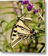 Tiger Swallowtail Butterfly Feeding Metal Print