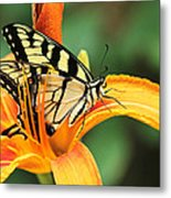 Tiger Swallowtail Butterfly On Daylily Metal Print