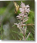 Tiger Swallowtails Metal Print