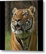 Tiger Symbol Of Metal Print