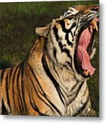 Tiger Teeth Metal Print