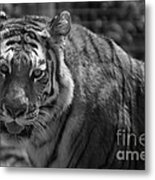 Tiger With A Fixed Stare Metal Print