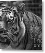 Tiger With A Hard Stare Metal Print