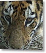Tiger You Looking At Me Metal Print