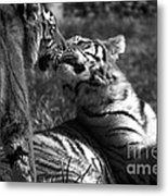 Tigers Kissing Metal Print