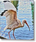 Tightrope Walking Ibis Metal Print
