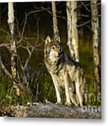 Timber Ghost Wolf Metal Print