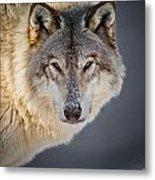 Timber Wolf Christmas Card French 21 Metal Print
