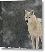 Timber Wolf Female North America Metal Print