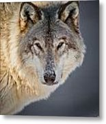 Timber Wolf Holiday Card 21 Metal Print