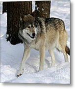 Timber Wolf In A Winter Snow Storm Metal Print