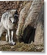 Timber Wolf In Pond Metal Print