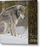 Timber Wolf In Snow Metal Print