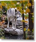 Timber Wolf On Rock Metal Print