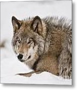 Timber Wolf Pictures 1028 Metal Print