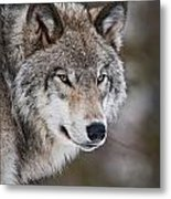 Timber Wolf Pictures 1067 Metal Print