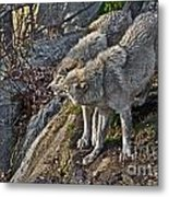 Timber Wolf Pictures 1094 Metal Print